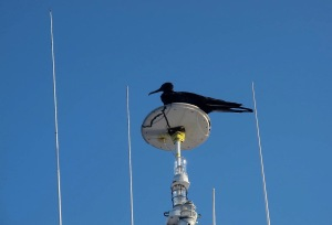 A female frigatebird on the radar mast. She fought off a male who wanted to roost there.