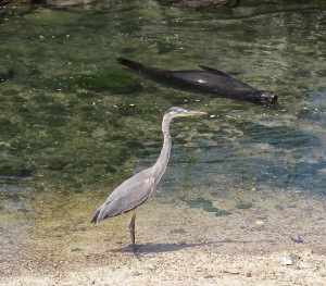 A great blue heron in the port.
