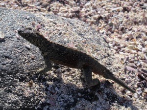 A courting lava lizard