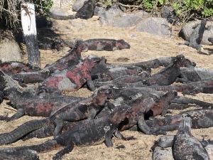 A mess o' marine iguanas