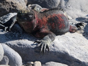 An up close and personal of a marine iguana