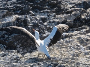 Nazca booby taking off