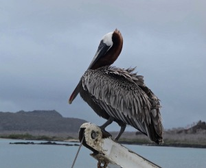 A pelican on the crane.