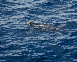 Just before we got into the Zodiac to go over to the Devil's Crown, I espied a couple of sea turtles right beside the boat.