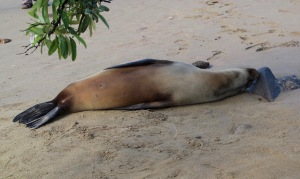 This sleepy head is resting on the Green Beach, so called because olivine (a green mineral) is prominent in the sand.