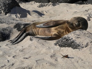 A young sea lion with his buddy, the lava lizard.