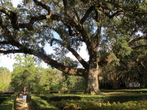 The oldest Live Oak at Rosedown, 260 years old. Live Oaks are native to Louisiana and stay green all year, hence the name Live Oak.