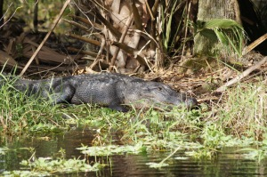 A big 'gator resting by the side of the river