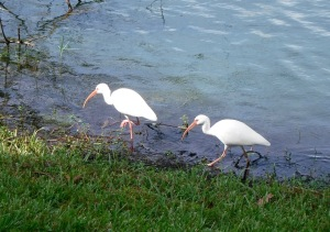 Ibis foraging for food near our apartment
