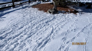 These are quail tracks that were made in about 24 hours. At first I thought the rumbled effect was from snow falling from the trees. But that is not the case. There are so many that they rumpled the snow. (Can snow be rumpled?)