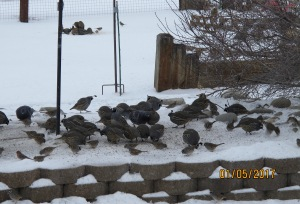 Quail, white crowned sparrows and a couple of those winged rats (pigeons) can be seen in this picture. Often, there are so many quail that it looks like the rocks and pavers are moving. I've counted up to 40 and then lost track because they are constantly moving and pecking.