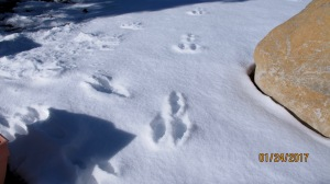 Cottontail rabbit tracks. No he didn't have three legs. That's just part of their gait.