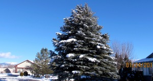 If you follow Buzzard Notes, you have seen this spruce many times in pictures of the mountains. It's on the corner of my tiny cul de sac.